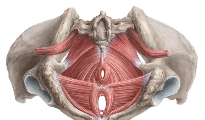 лк мышца у мужчин фото