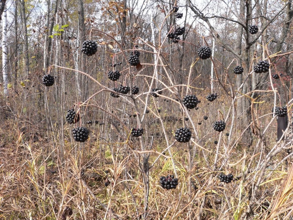 элеутерококк фото растения