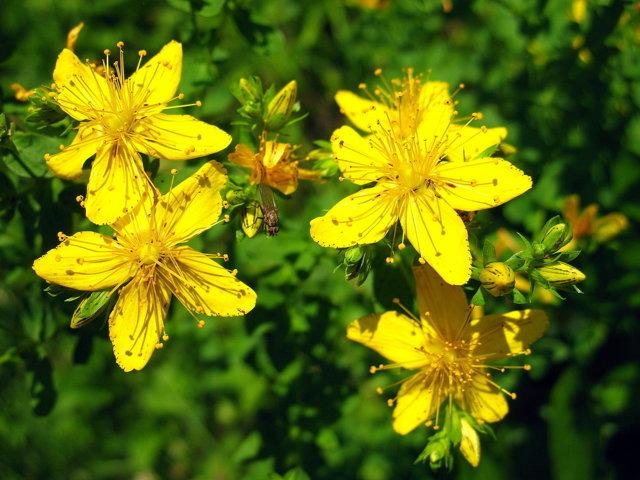 Цветы зверобоя для потенции